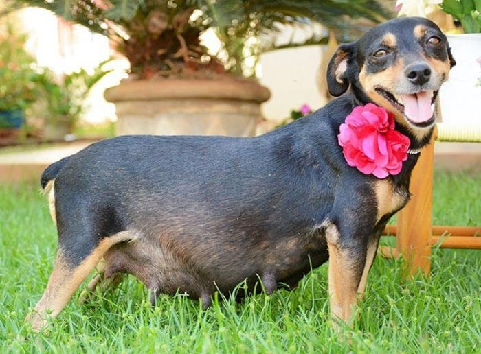 Pregnant Dog Poses For A Photo Shoot (8 pics)