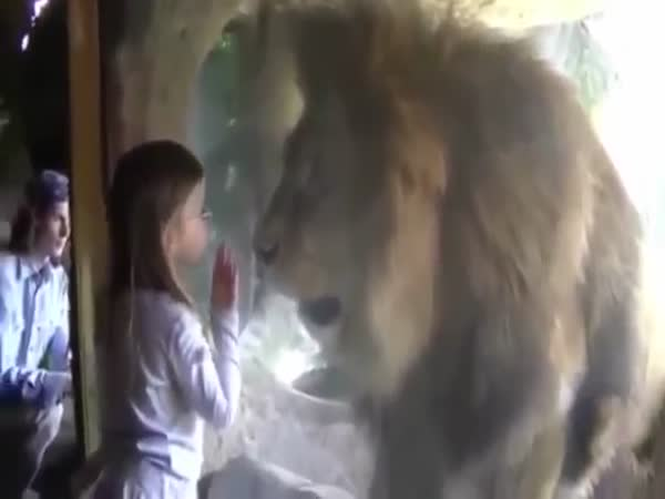 Lion Reaction When A Little Girl Kisses The Glass