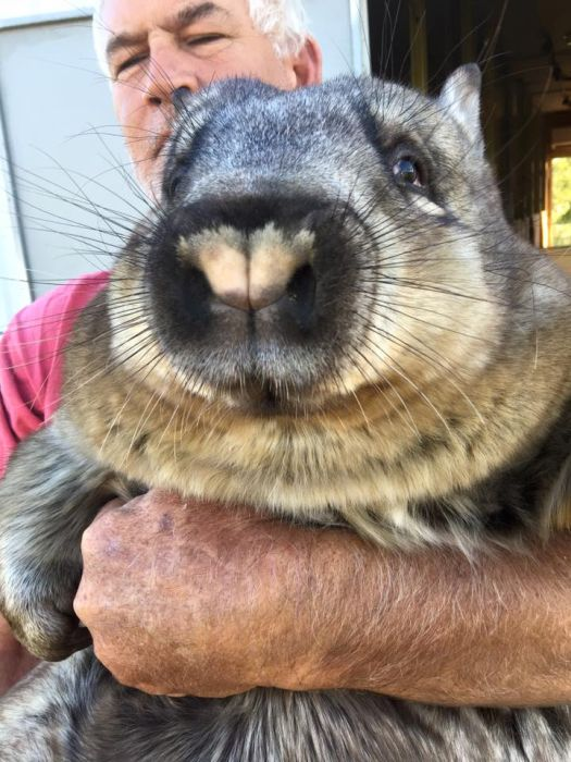 Miss Ruby Is The Most Spoiled Wombat Ever (8 pics)