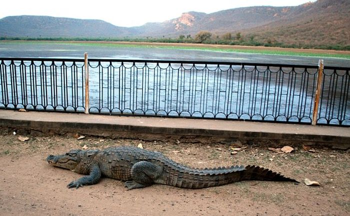 Crocodile Makes A Daring Climb In Order To Get Home (5 pics)
