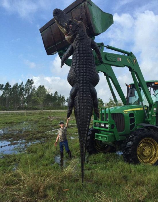 Hunters Catch A Massive 800lb Alligator On Their Farm (4 pics)