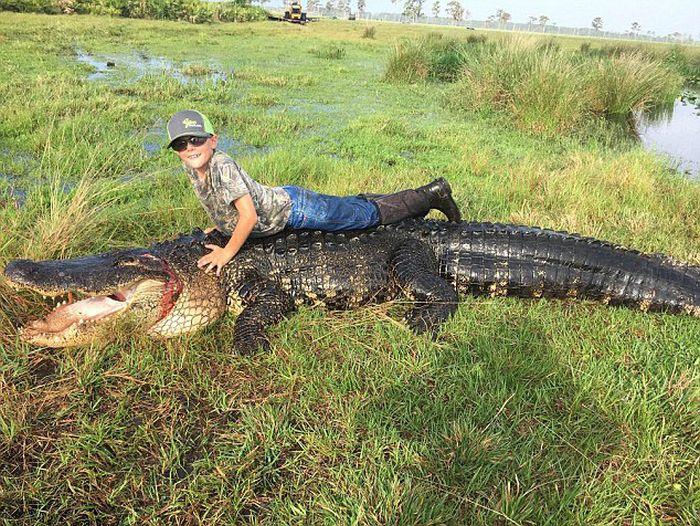 Hunters Catch A Massive 800lb Alligator On Their Farm (4 pics)