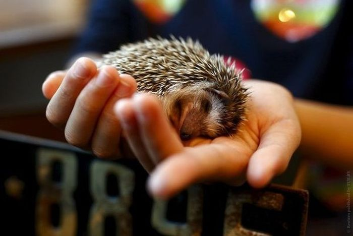 In Japan There's A Cafe That Lets You Hang Out With Hedgehogs (8 pics)