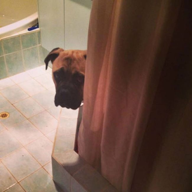 Huge Dog Hilariously Creeps Up On His Owner (18 pics)