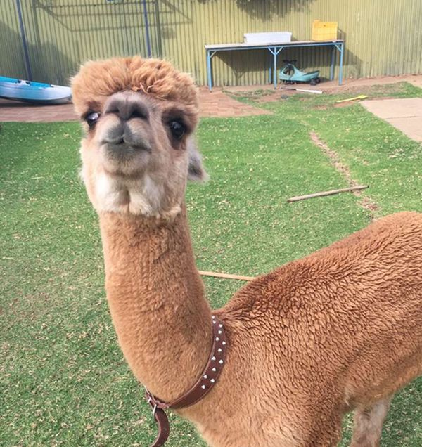 Every Kid Wants An Alpaca For A Pet (13 pics)