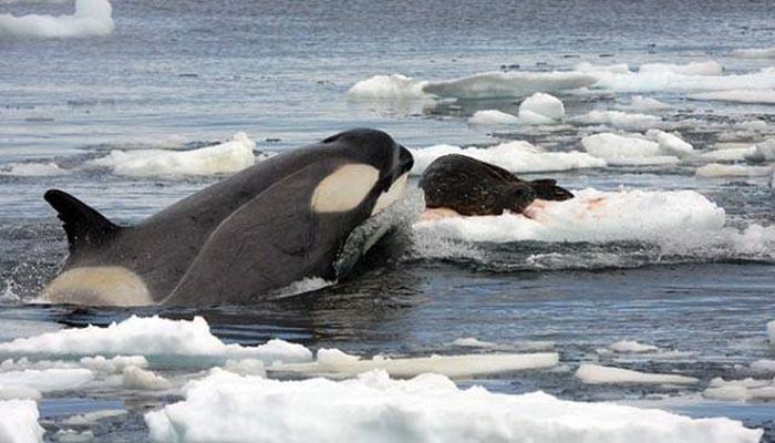 Cool Facts You Need To Know About Killer Whales (11 pics)