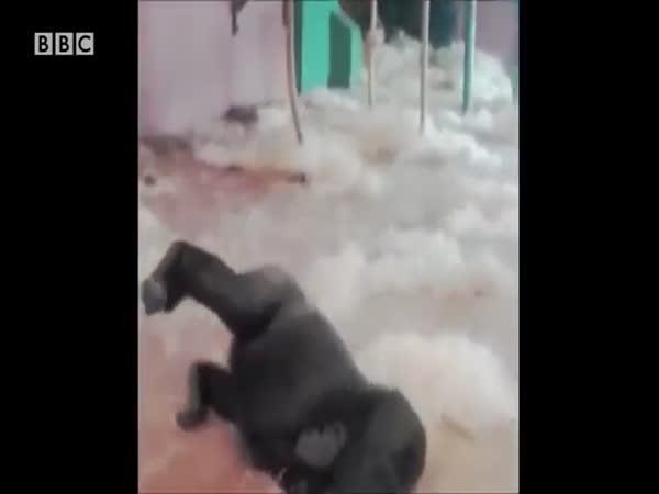 Dancing Gorilla Video From Twycross Zoo