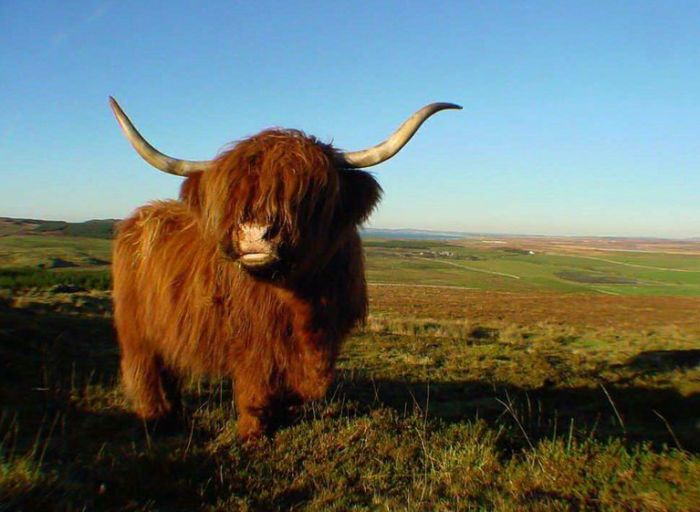 Guy On Sleeping Pills Accidentally Purchases A Real Live Yak (2 pics)