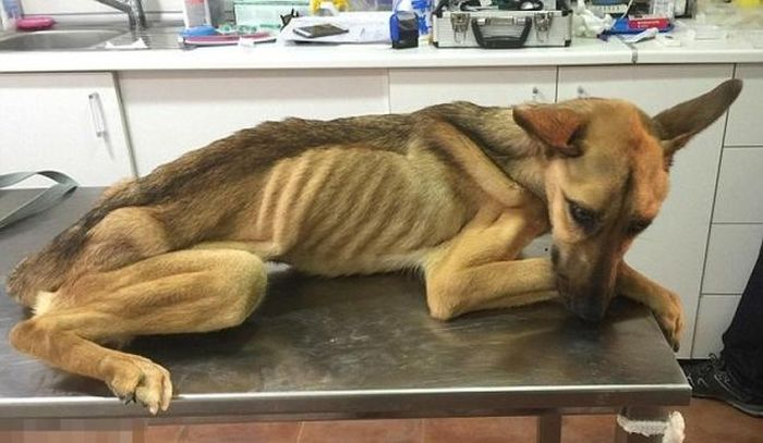 Starving Dog Gets Nursed Back To Health (6 pics)