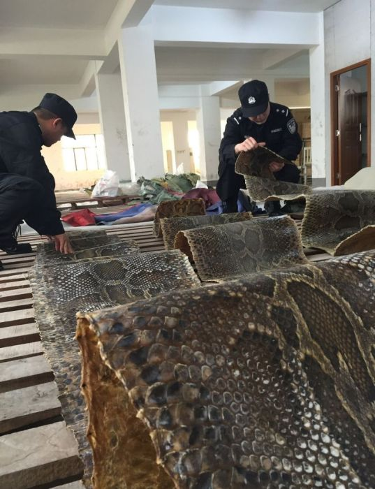 Chinese Authorities Bust Smugglers Trying To Move 25,000 Python Skins (7 pics)