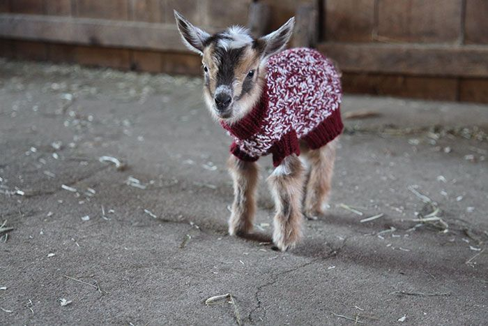 Adorable Baby Goats Stay Warm By Wearing Tiny Hand-Knit Sweaters (6 pics)
