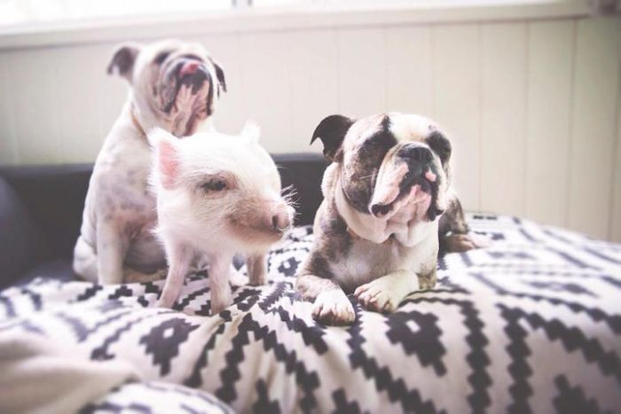 A Cute Pig Grew Up With Three Dogs And Now She Thinks She's One Of Them (16 pics)