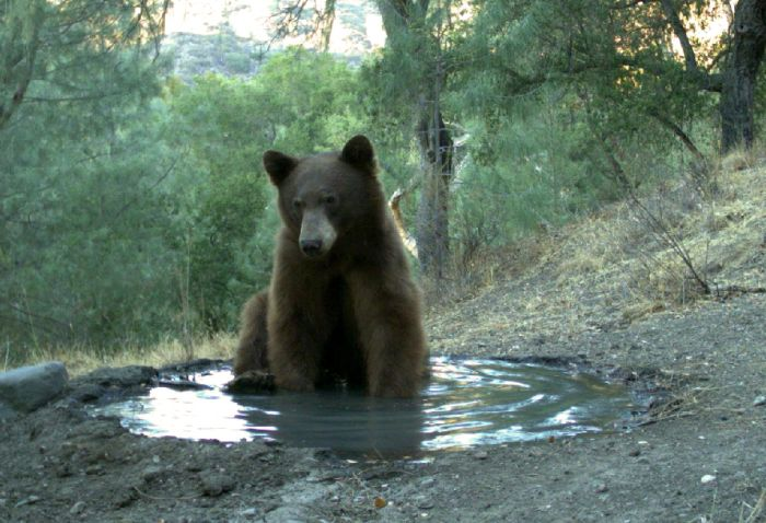 Bear Spoils The Drinking Water For All The Animals (3 pics)