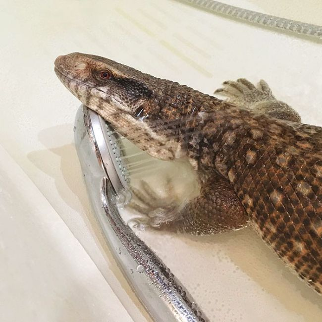 This Lizard Is Showing The World That Reptiles Can Be Cute Too (17 pics)