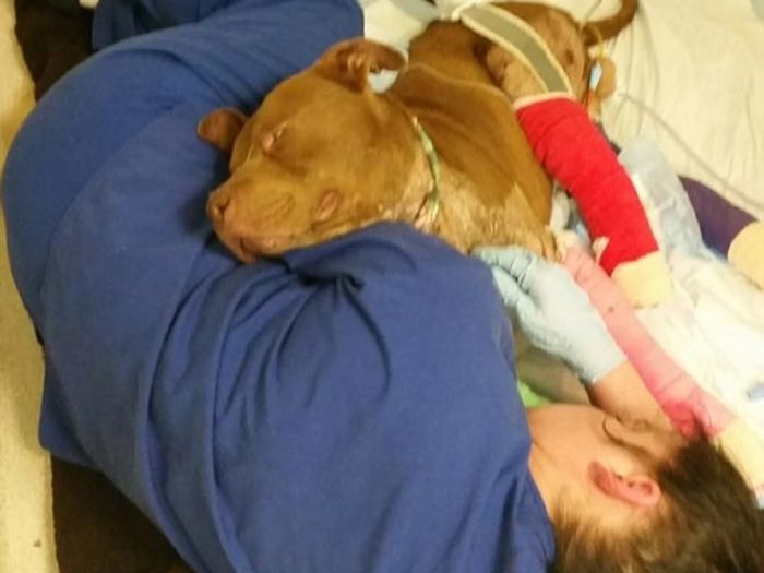 Fighting Pit Bull Finally Gets A Taste Of The Good Life (7 pics)