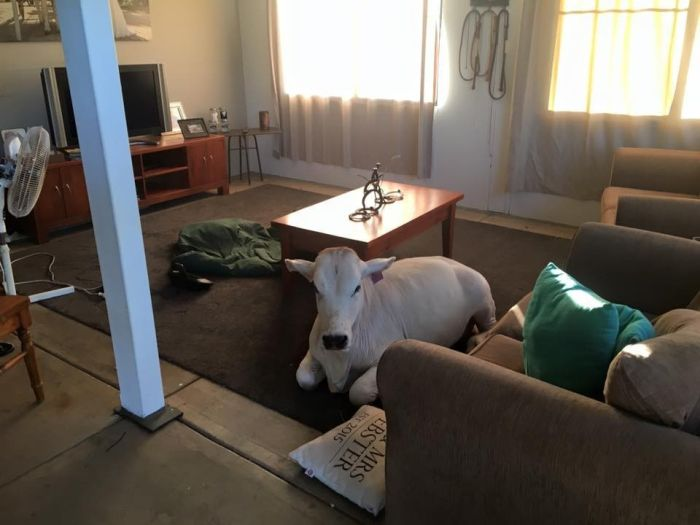 Spoiled Cow Thinks It's A Dog (10 pics)