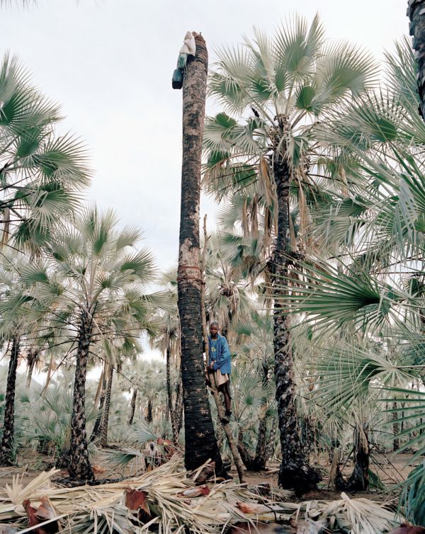 Production of palm wine in Africa (8 pics)
