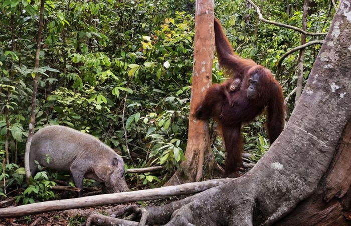 Orangutan Fights Off Boar With A Stick (7 pics)