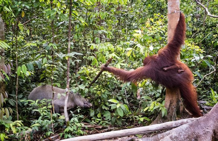 Orangutan Fights Off Boar With A Stick (7 pics)