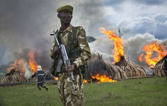 Kenya Is Burning Ivory To Warn Poachers (7 pics)