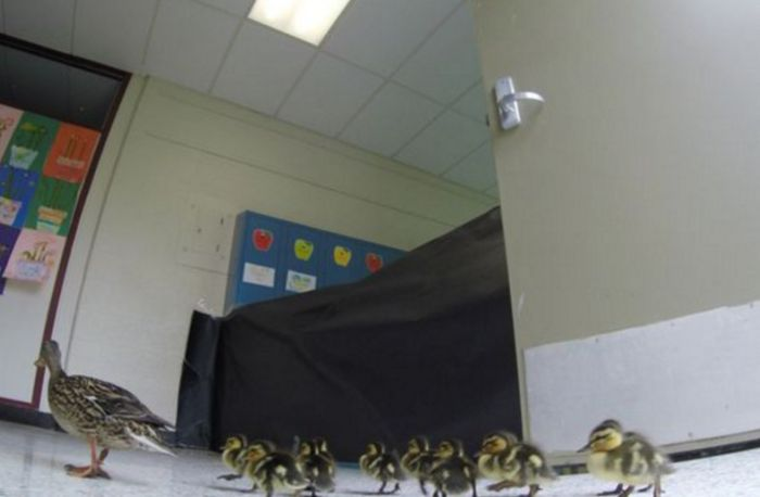 Mama Duck Leads Her Ducklings Through A School (3 pics)
