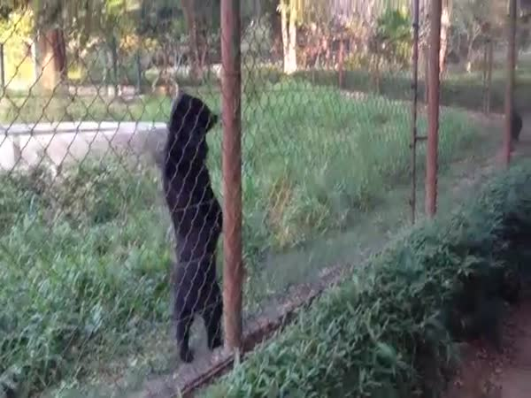 Bear Walking Upright