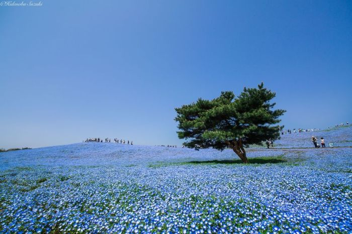 Millions Of Flowers Have Bloomed In Japan's Hitachi Seaside Park (8 pics)