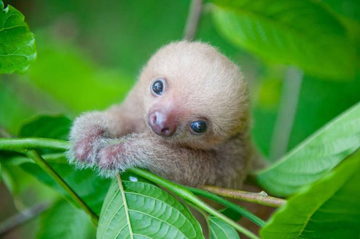 In Costa Rica There's An Institute That Takes Care Of Orphaned Sloths (16 pics)