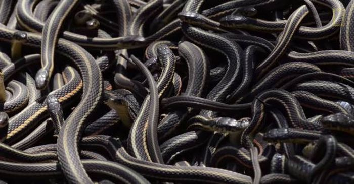 Thousands Of Snakes Come Out Of Hibernation In Canada (12 pics)