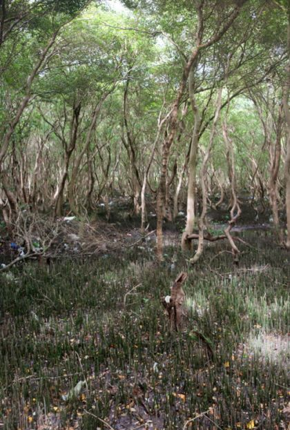 Mangrove Forests Are Dying In The Philippines (5 pics)