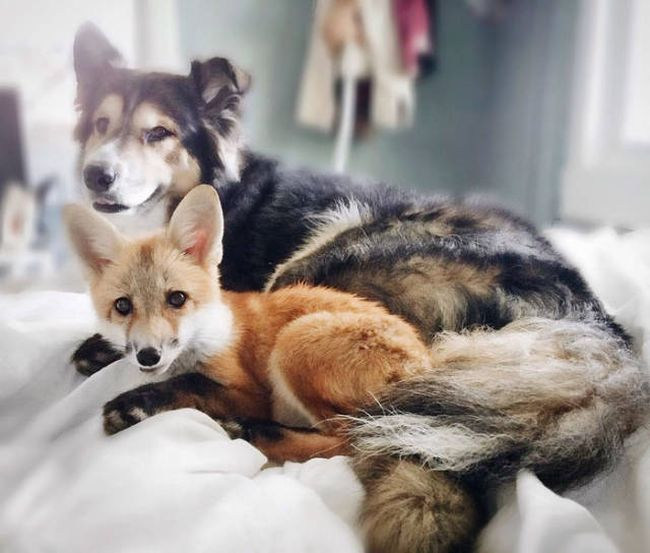 A Pet Fox And A Dog Have Formed A Wonderful Friendship (11 pics)