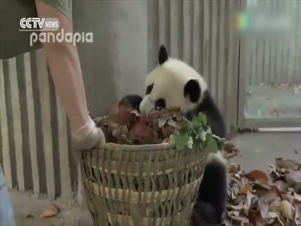 Baby Giant Pandas Cause Chaos Inside Chinese Breeding Base