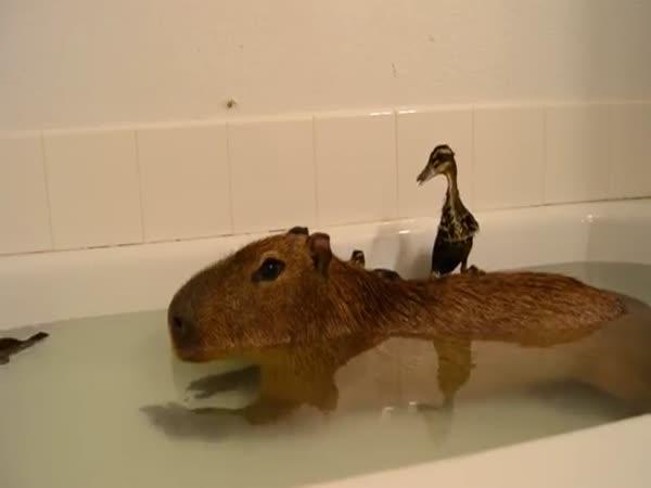 Capybara And Ducklings