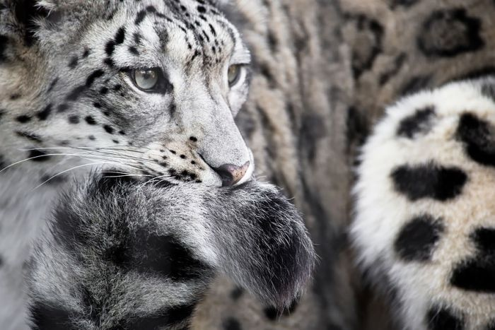 Snow Leopards Love Nothing More Than Playing With Their Fluffy Tails (12 pics)