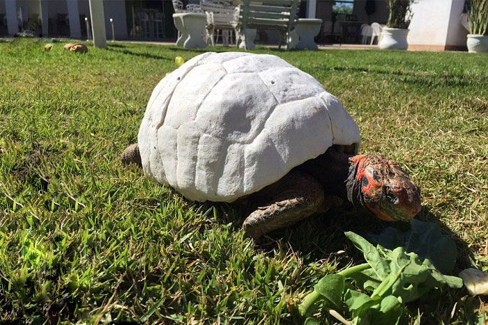 Lucky Tortoise Receives The First Ever 3D Printed Shell (7 pics)