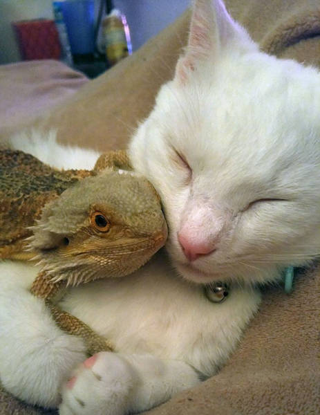 A Cat And A Bearded Dragon Have Formed A Beautiful Friendship (9 pics)