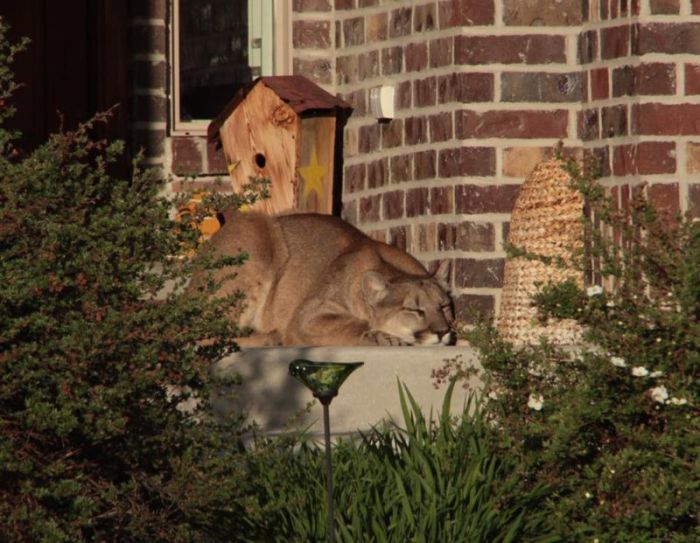 Cougar Gets Caught Taking A Nap On The Front Doorstep (7 pics)