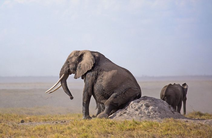 Elephants Find A Funny Way To Scratch Their Itch (5 pics)