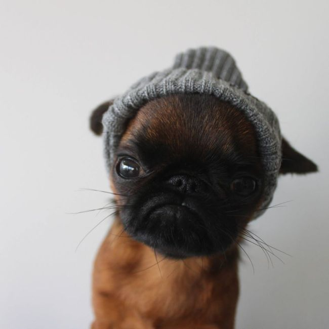 Gizmo Is The World's Grumpiest Looking Dog (10 pics)  Gizmo Is The Wo...