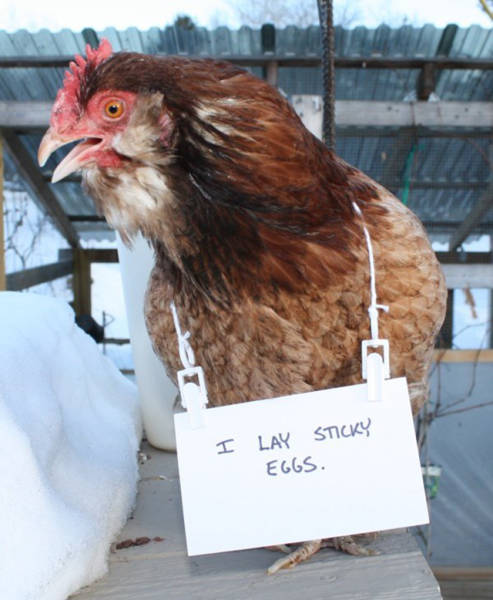 Forget Dog Shaming, Chicken Shaming Is The Next Big Thing (23 pics)