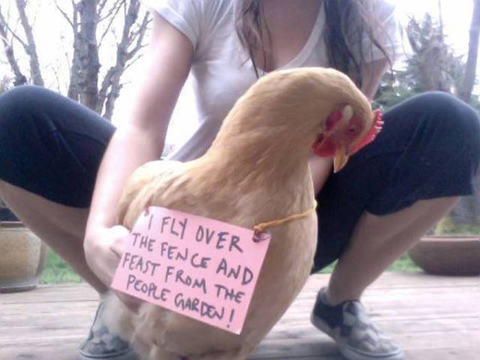 Image result for chicken shaming