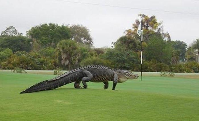 Massive Alligator Looks Like Something Right Out Of Jurassic Park (2 pics)