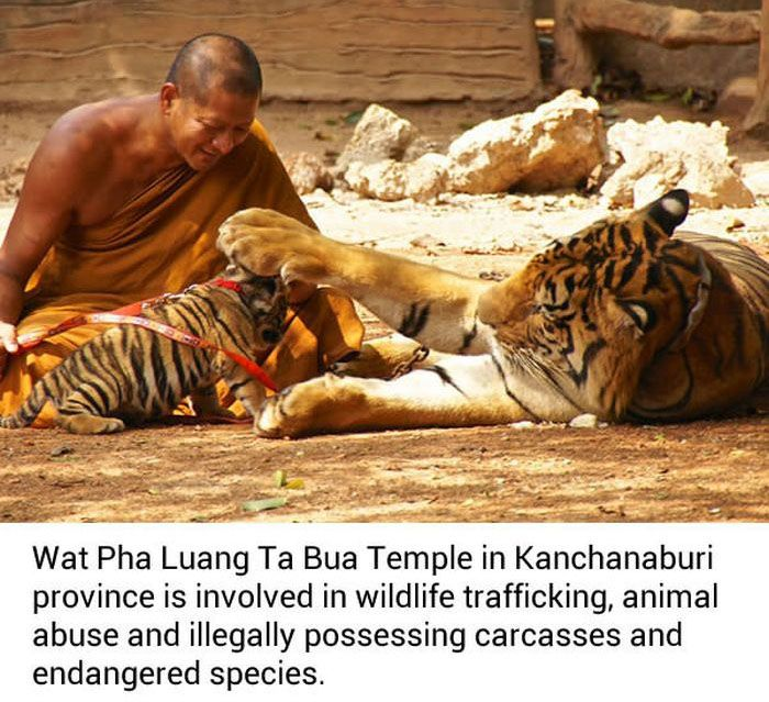 Dead Tiger Cubs Discovered In Freezer At Buddhist Temple (8 pics)