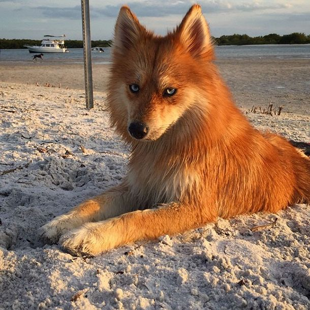 Fox Dog Is Taking The Internet By Storm (11 pics)