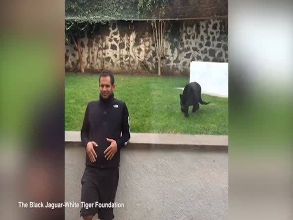 Panther Pounces On Zookeeper In Mexico But Only Wants A Kiss