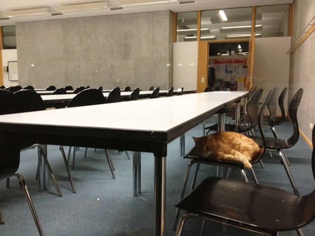 This Cat Comes To University Everyday Get Pets (15 pics)