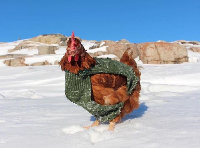 Adventurous Man Takes His Pet Chicken All Around The World (15 Pics)