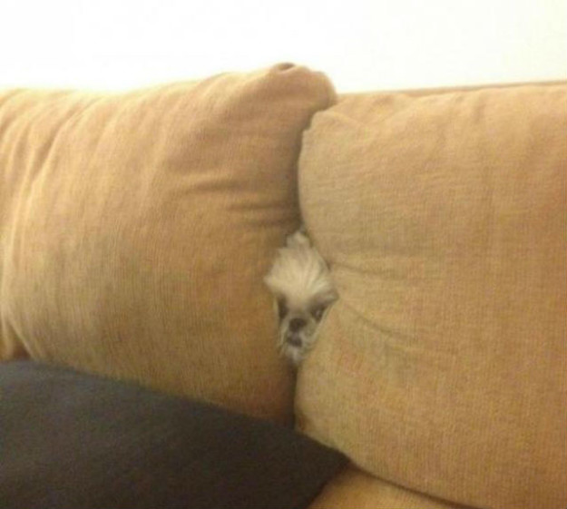 Hilarious Dogs Who Accidentally Got Stuck In The Couch (16 pics)