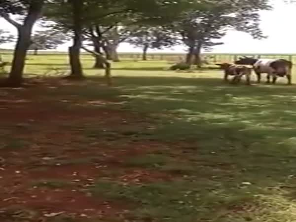 Cow Charges Goat And Gets Knocked Out