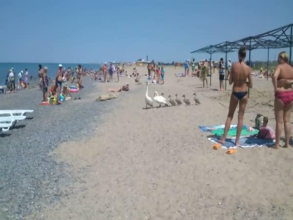 Swan Family On The Beach